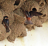 Chestnut Collared Swallows nesting under the eaves of a church