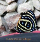 A Butterfly -  Have not identified it so HELP!!!
