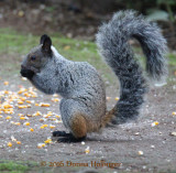 Guayaquil Squirrel (Sciurus stramineus)