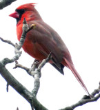 Male Cardinal on a tree at the BackDoor