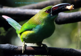 Chestnut-Tipped Toucanet