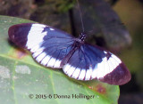 Cydno Longwing Heliconius