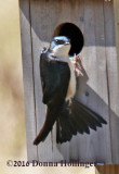 Female Swallow checking out the Nesting Box