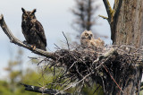 Great Horned Owl and her Owlet
