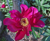 Single Peony in Anni's Flower Garden