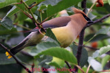 Cedar Waxwings, their feathers look like fur!