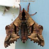 Paonias excaecata, Blinded sphinx moth