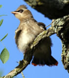 Baby Cedar Waxwing, See his red tail?