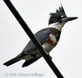 Belted Kingfisher (female)  on a wire at Kendall Station Norwich