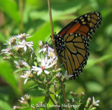 A Monarch Butterfly Came by to Visit