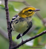 This is a Black-throated Green Warbler