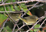 Two Common YellowThroat Females