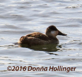 Ruddy Duck After a Dive