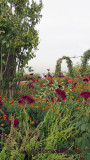 Celosia and vines in the Garden