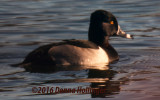 RingNecked Duck