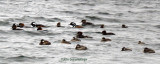 Hooded Mergansers and Ruddies