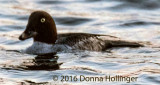Female First Winter Goldeneye