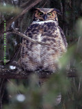 Great Horned OWL I think this is the Male