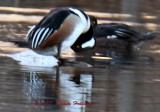 The Male (Front) Hooded Merganser Dipping his Head