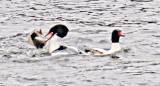 Two Common Mergansers , one just caught a fish!