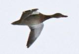 Flying Mallard female
