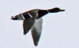 Green Headed Mallard flying