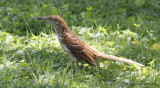 Ninja Brown Thrasher and Rat Snake