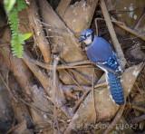 Green Cay, Florida Blue Jay