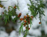 snow on pines 2014