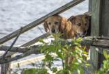 Two Davis Dogs
