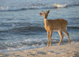 Young Buck on Beach