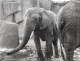 Captive Elephants