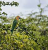wild parrot Bonaire