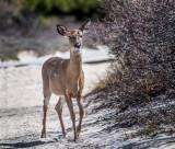 deer Fire Island