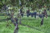 winery vines