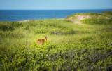 Deer in the Dunes