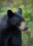 Black Bear Yearling.jpg