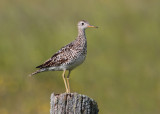 Upland Sand Piper