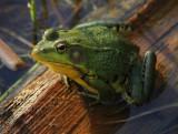 Green Frog, Rana clamitans