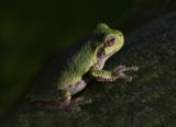 Grey Treefrog (Hyla Versicolor)