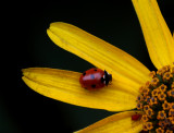 Lady Bug and Red Aphid