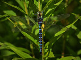 Lance-tipped darner (aeshna constricta)