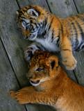 LION_TIGER_CUB.jpg