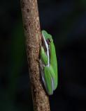 Florida Green Tree Frog