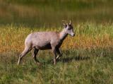 Bighorn Sheep (Ewe)