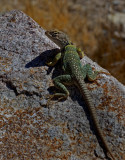 Collared Lizard (Female)