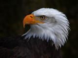 Bald Eagle profile