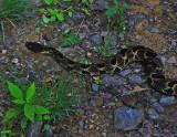 Timber Rattlesnake