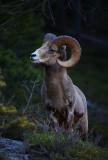 Alberta Wildlife