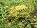 Grimmia hartmanii - Skogsgrimmia - Hartman's Grimmia
